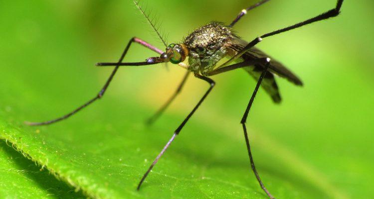 Musik gegen Mücken